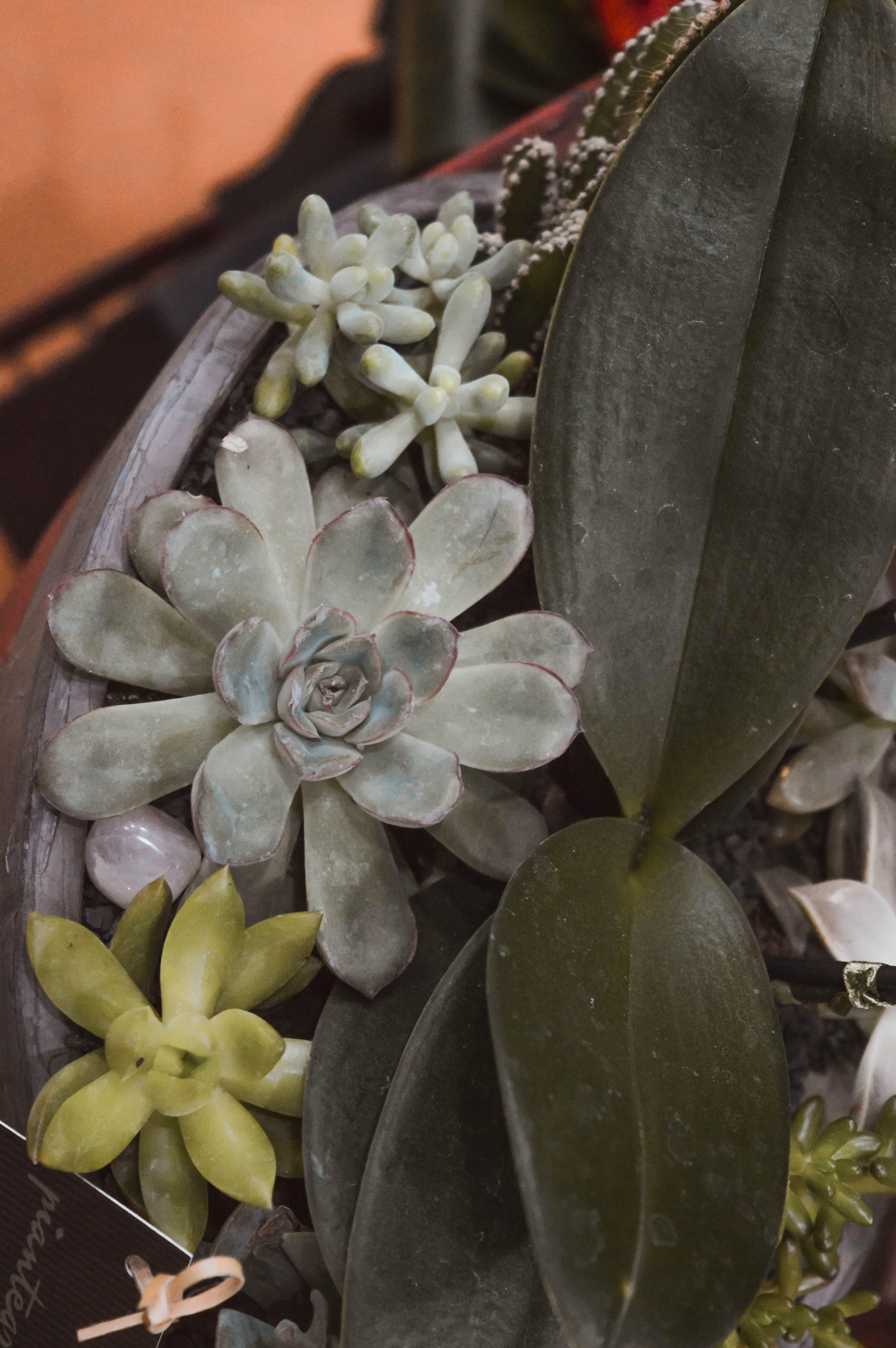คลังภาพถ่ายฟรี ของ ซักคิวเลนต์, พืชสีเขียว, พืชอวบน้ำ, ฤดูใบไม้ผลิ