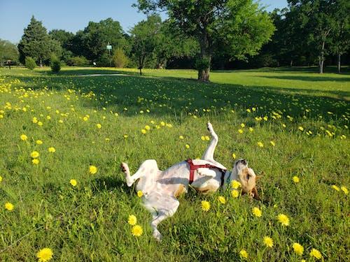 つぶやき, フラワーズ, 怠惰な犬, 犬の無料の写真素材