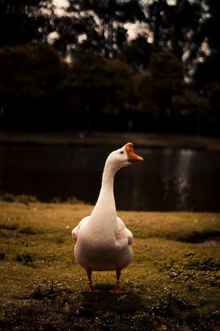 Photo of white goose
