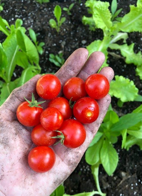 番茄(tomatoes), 花園 的 免费素材照片