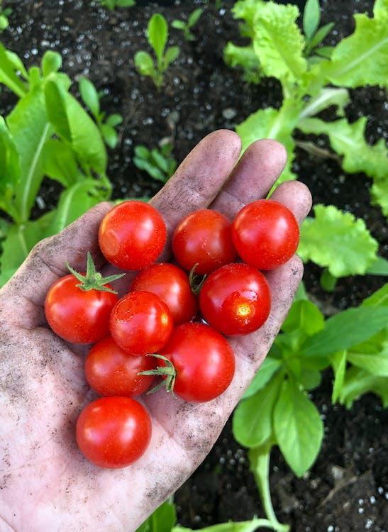 tomatoe, สวน