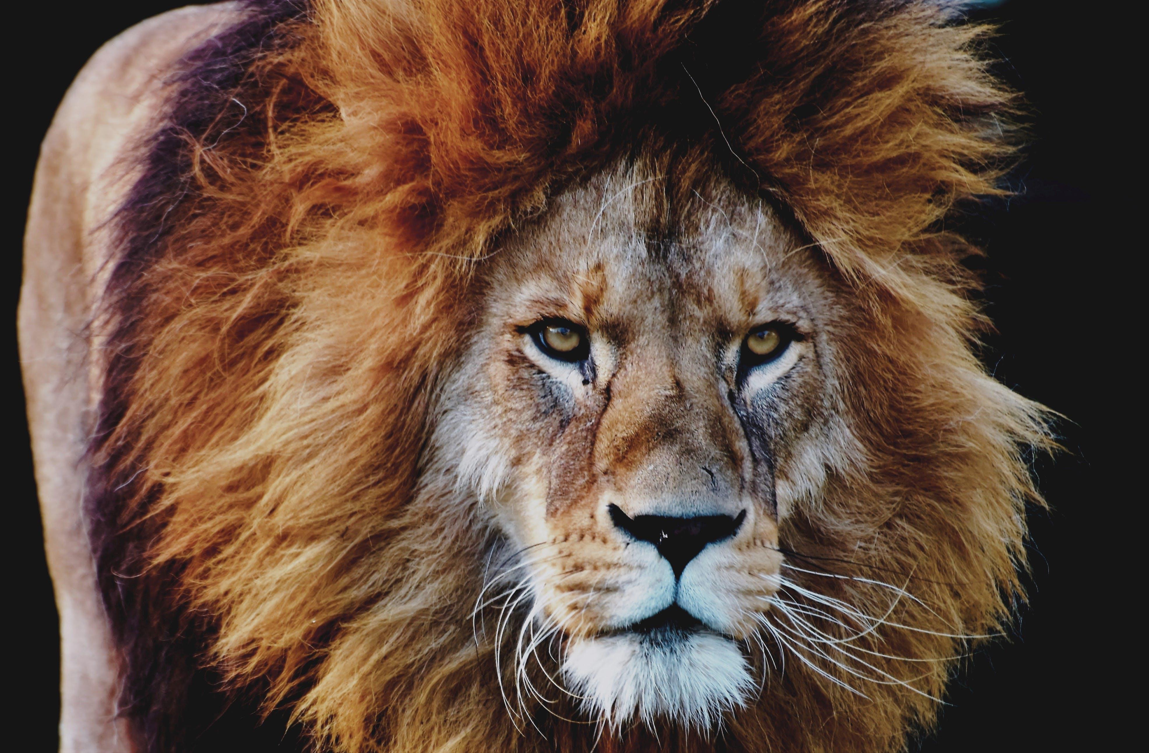 Základová fotografie zdarma na téma divoká kočka, divoké zvíře, fotografování zvířat, hlava