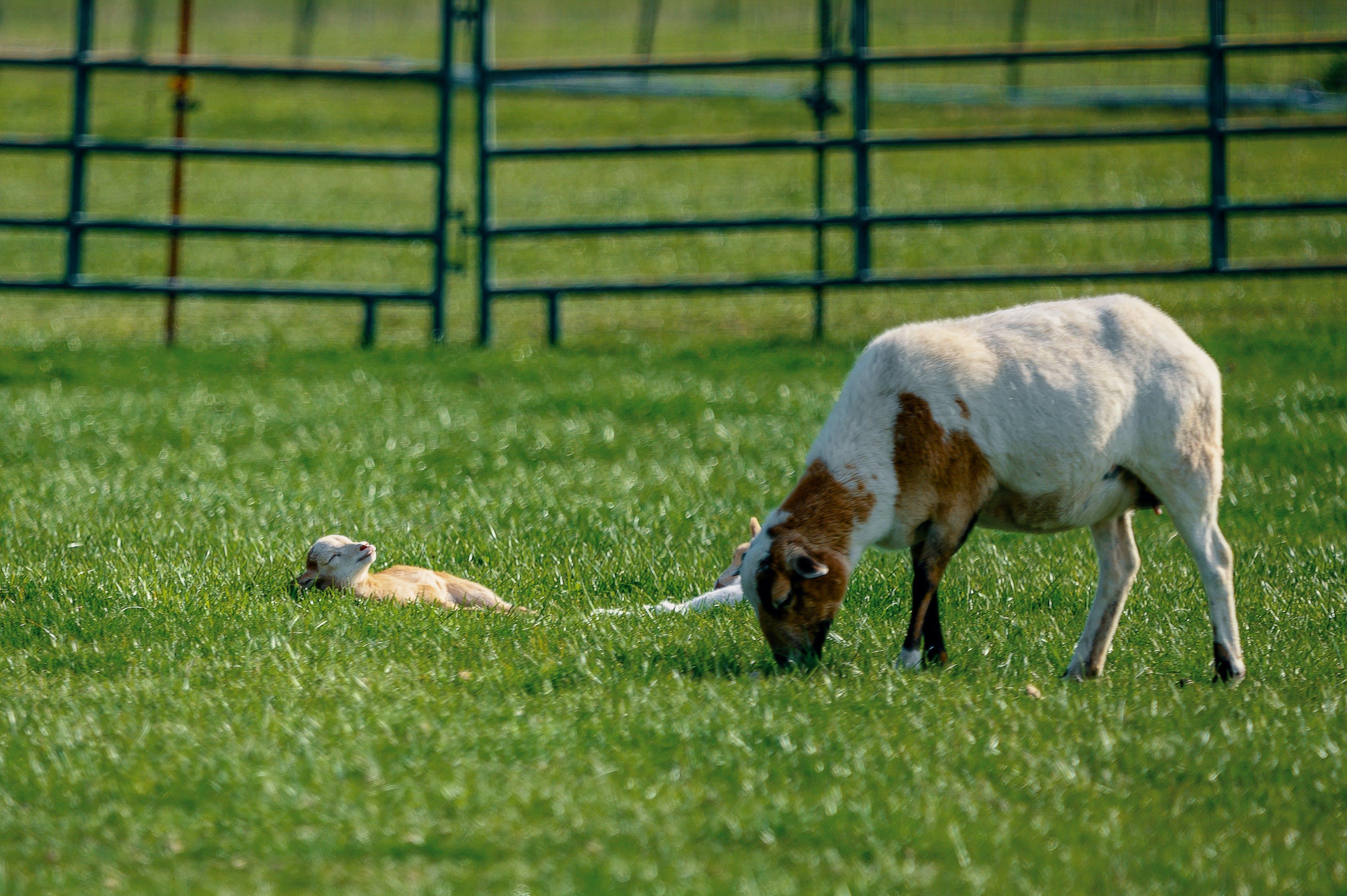 Foto stok gratis agrikultura, bidang, di luar rumah, domba