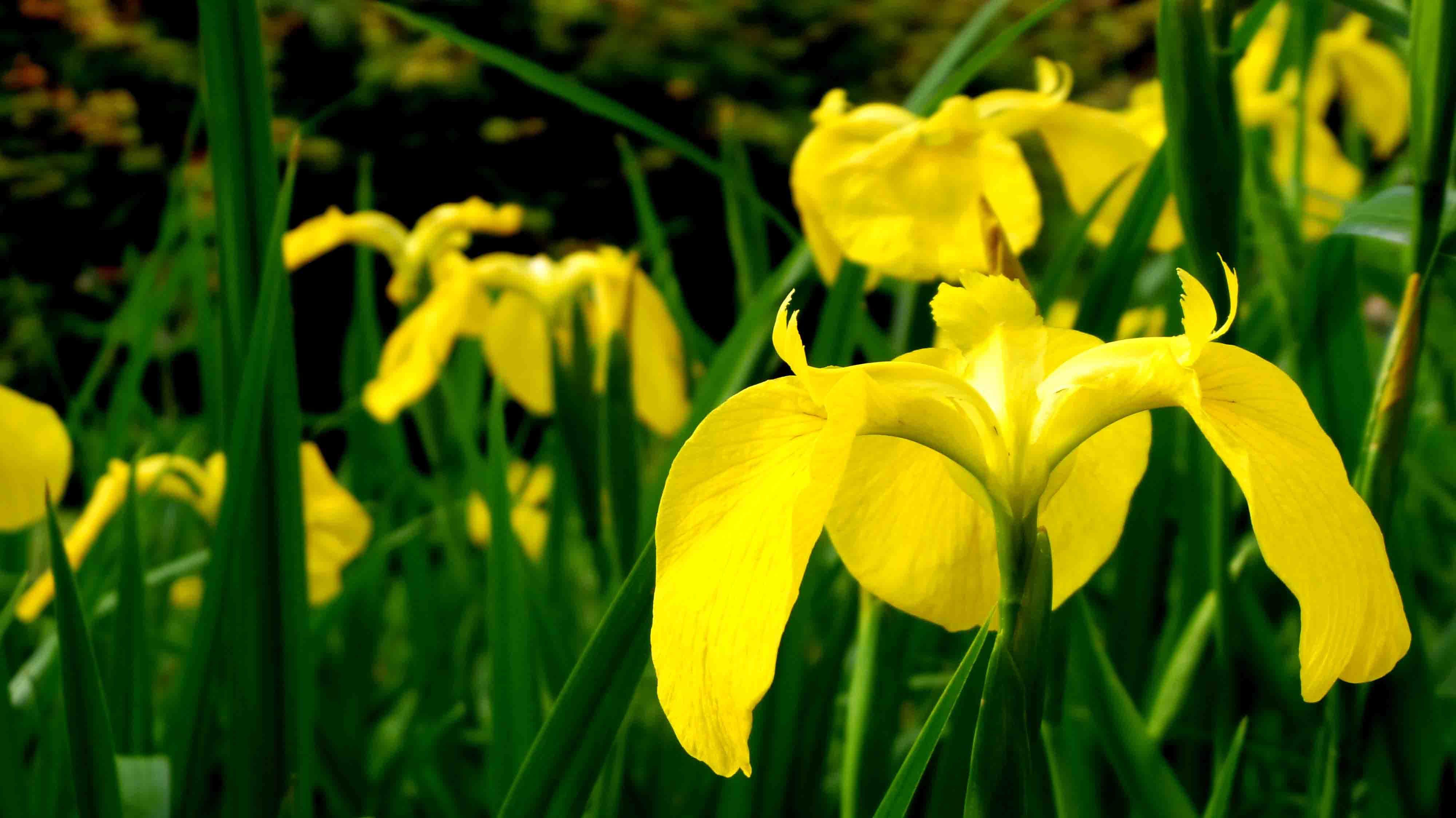 Foto profissional grátis de amarelo, íris