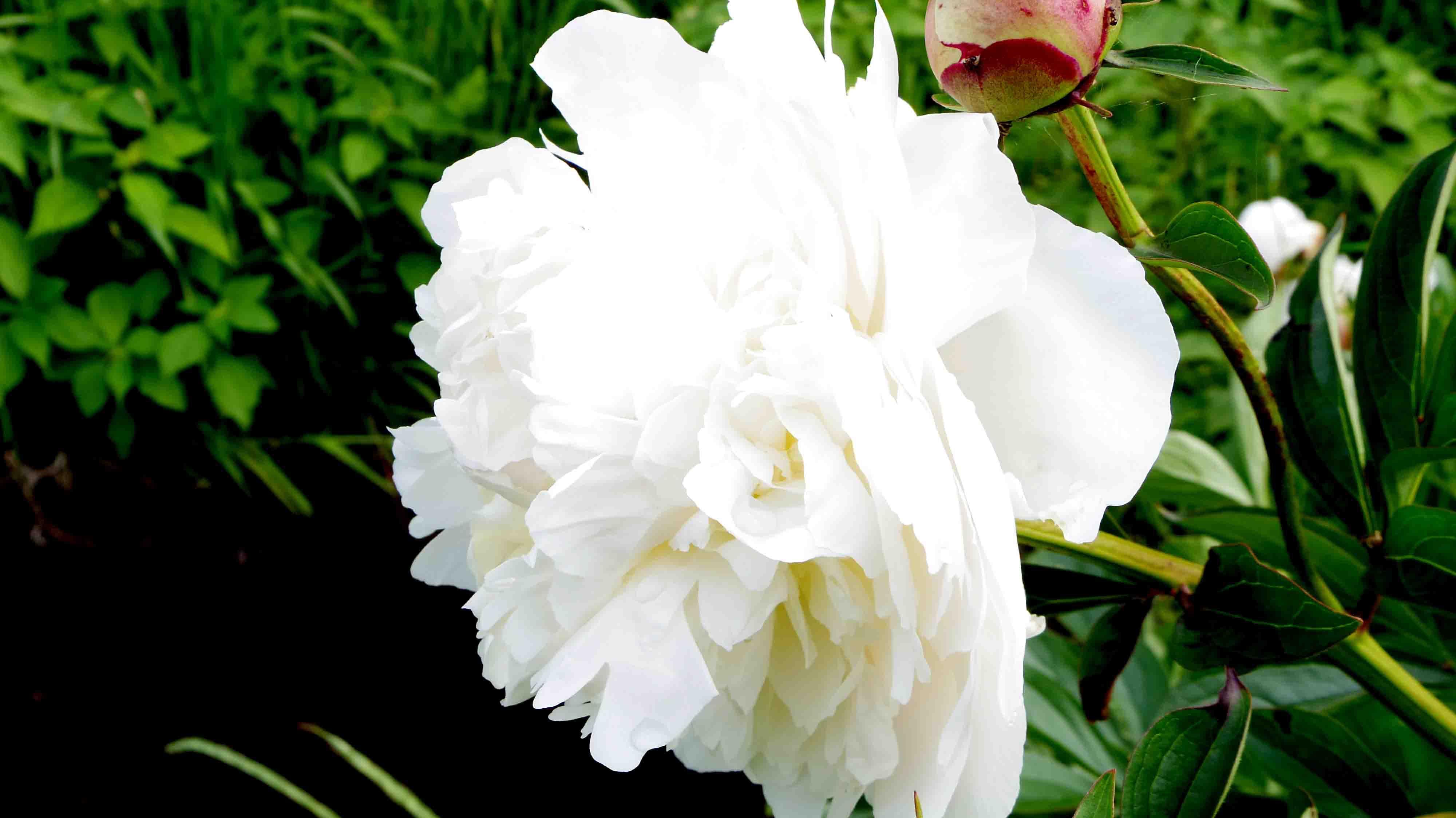 Foto profissional grátis de branco, peônia