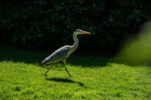 Free stock photo of animal, animals, beauty, crane bird