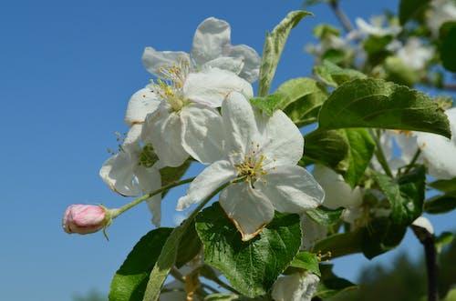 Fotobanka sbezplatnými fotkami na tému jabloň, jar, smieť