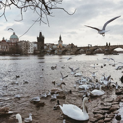 Free stock photo of lake, seagulls, swans