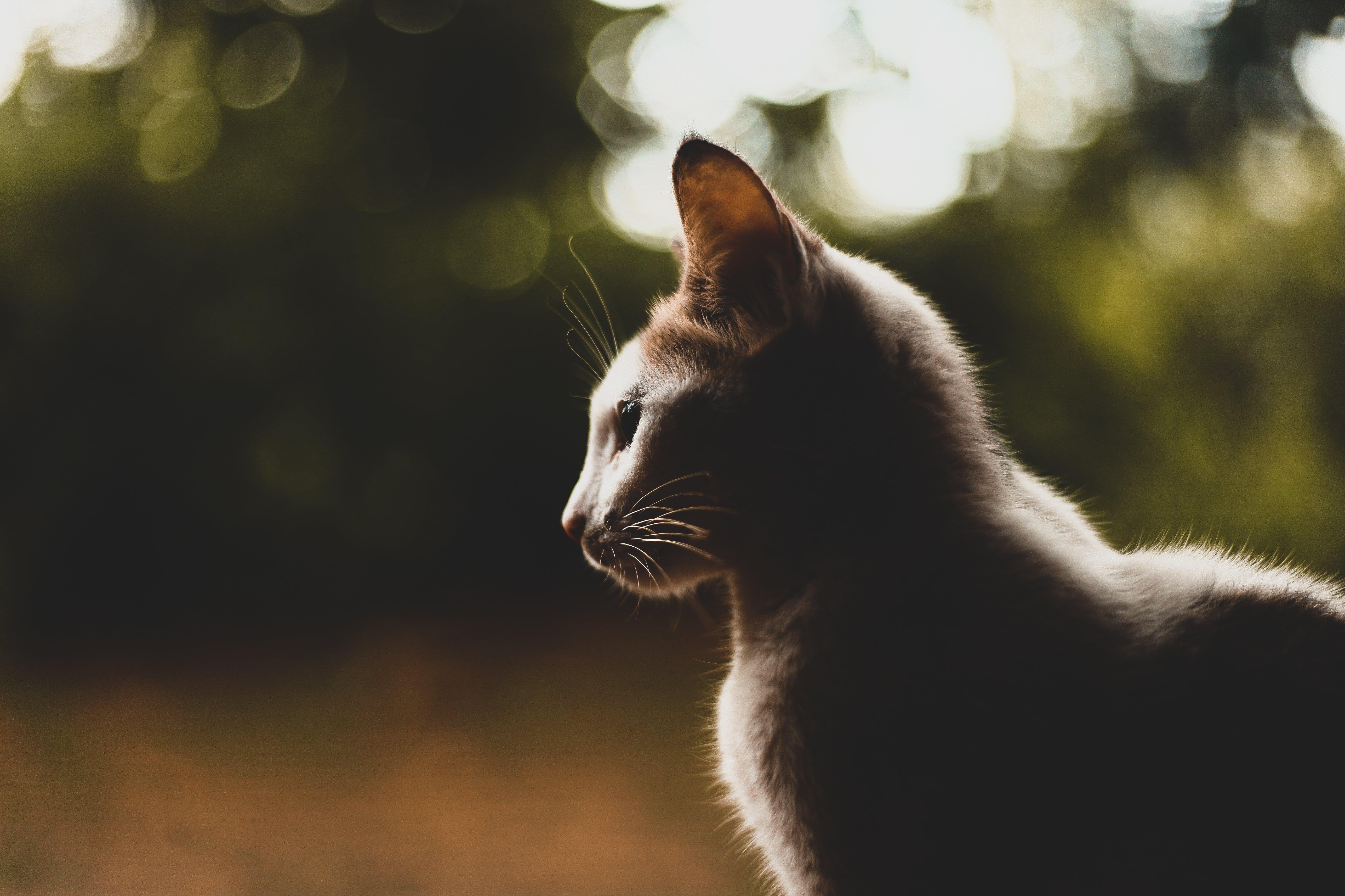 Portrait picture of a  Short Coated cat