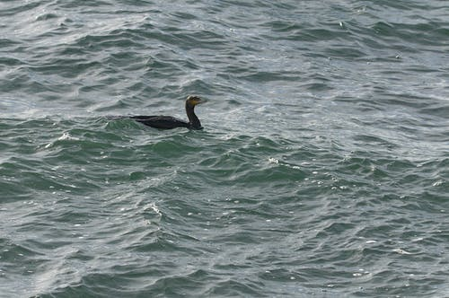 Free stock photo of animalier, cormoran, eau