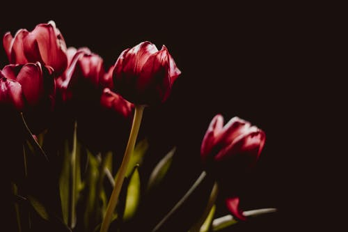 Picture of Red Tulip
