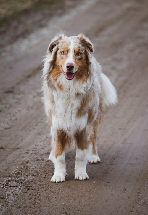 Picture of an Australian Shepherd