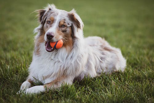Picture of an Australian collie dog
