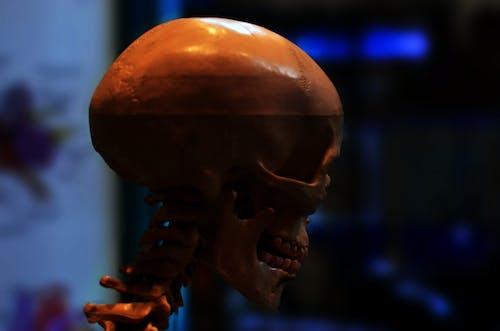 Základová fotografie zdarma na téma biologie, hlava, kostra, lebka
