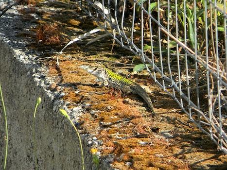 Free stock photo of lizard, camoflage