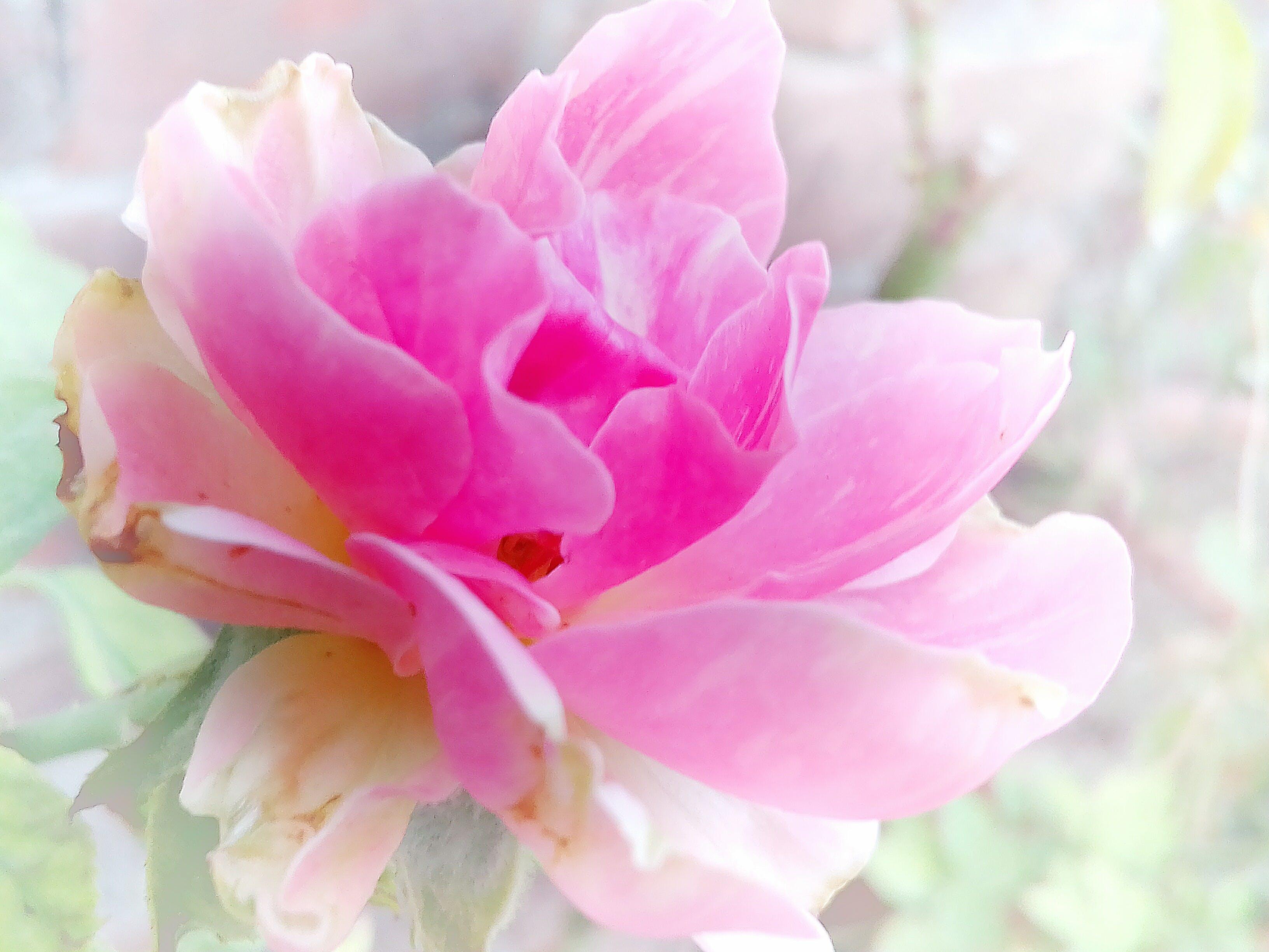 Gratis lagerfoto af 4k-baggrund, baggrundsbillede, blomst, blomst tapet