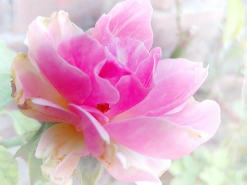 Ingyenes stockfotó 4k-háttérkép, Első virágok, fehér háttér, gyönyörű virág témában