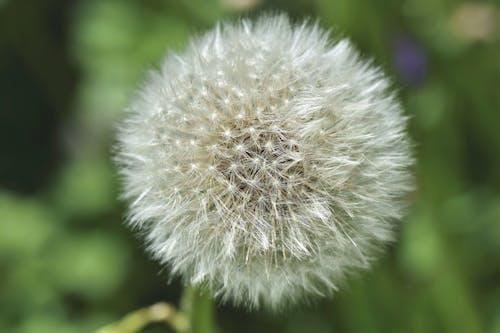 Fotobanka sbezplatnými fotkami na tému púpava, púpavové semienka, púpavové semienko