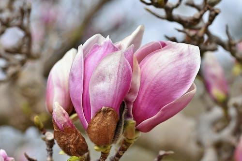 คลังภาพถ่ายฟรี ของ ดอกไม้บาน, เบ่งบาน, แมกโนเลีย