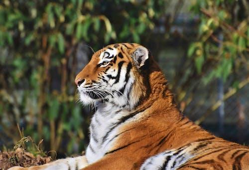 คลังภาพถ่ายฟรี ของ นักล่า, เสือ, เสือเบงกอล, แมวลาย