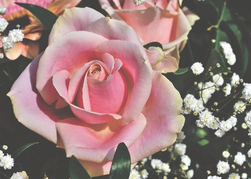 คลังภาพถ่ายฟรี ของ ดอกกุหลาบ, ดอกกุหลาบบาน