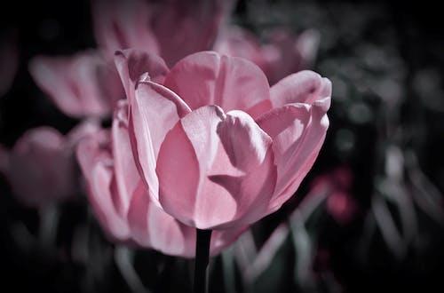คลังภาพถ่ายฟรี ของ ดอกทิวลิป, ดอกทิวลิปสีชมพู, ทิวลิป