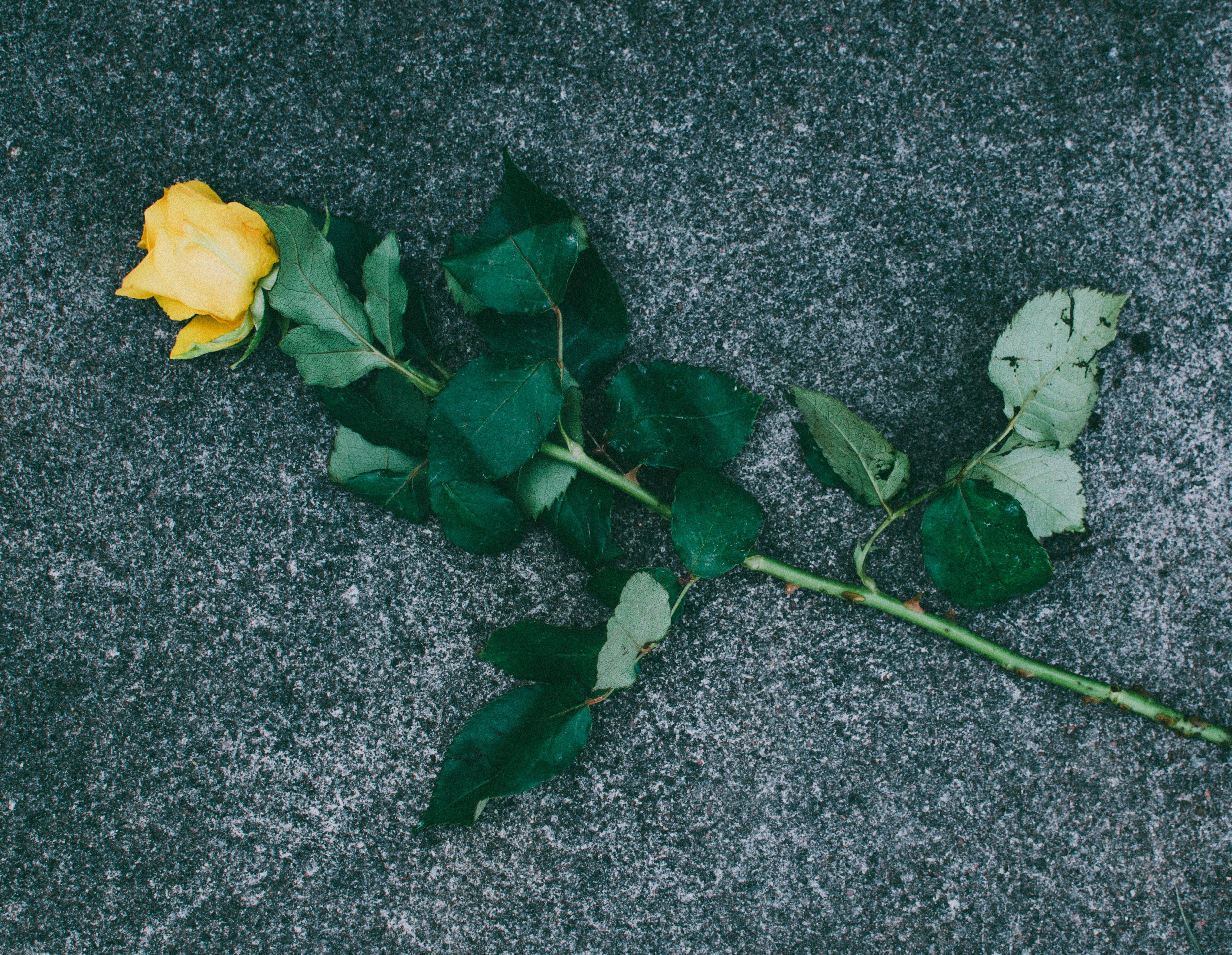 植物群, 樹葉, 玫瑰, 綻放 的 免費圖庫相片