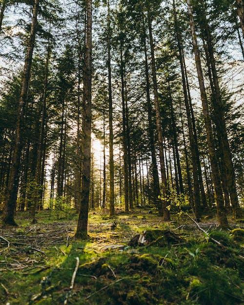 คลังภาพถ่ายฟรี ของ กลางวัน, กลางแจ้ง, ดวงอาทิตย์, ต้นสน