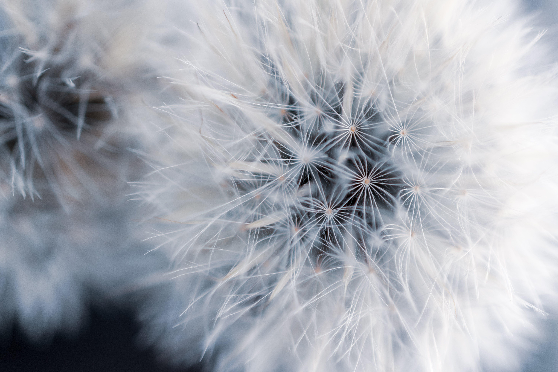 Gratis lagerfoto af blomst, close-up, flora, Mælkebøtte