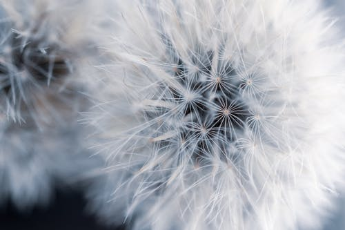 Close-Up Photo Of Two Dandelions