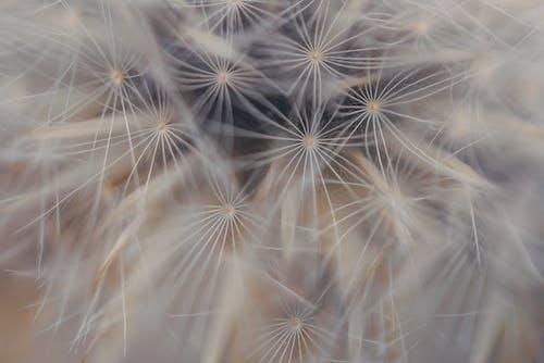 Безкоштовне стокове фото на тему «великий план, квітка, кульбаба, макрофотографія»