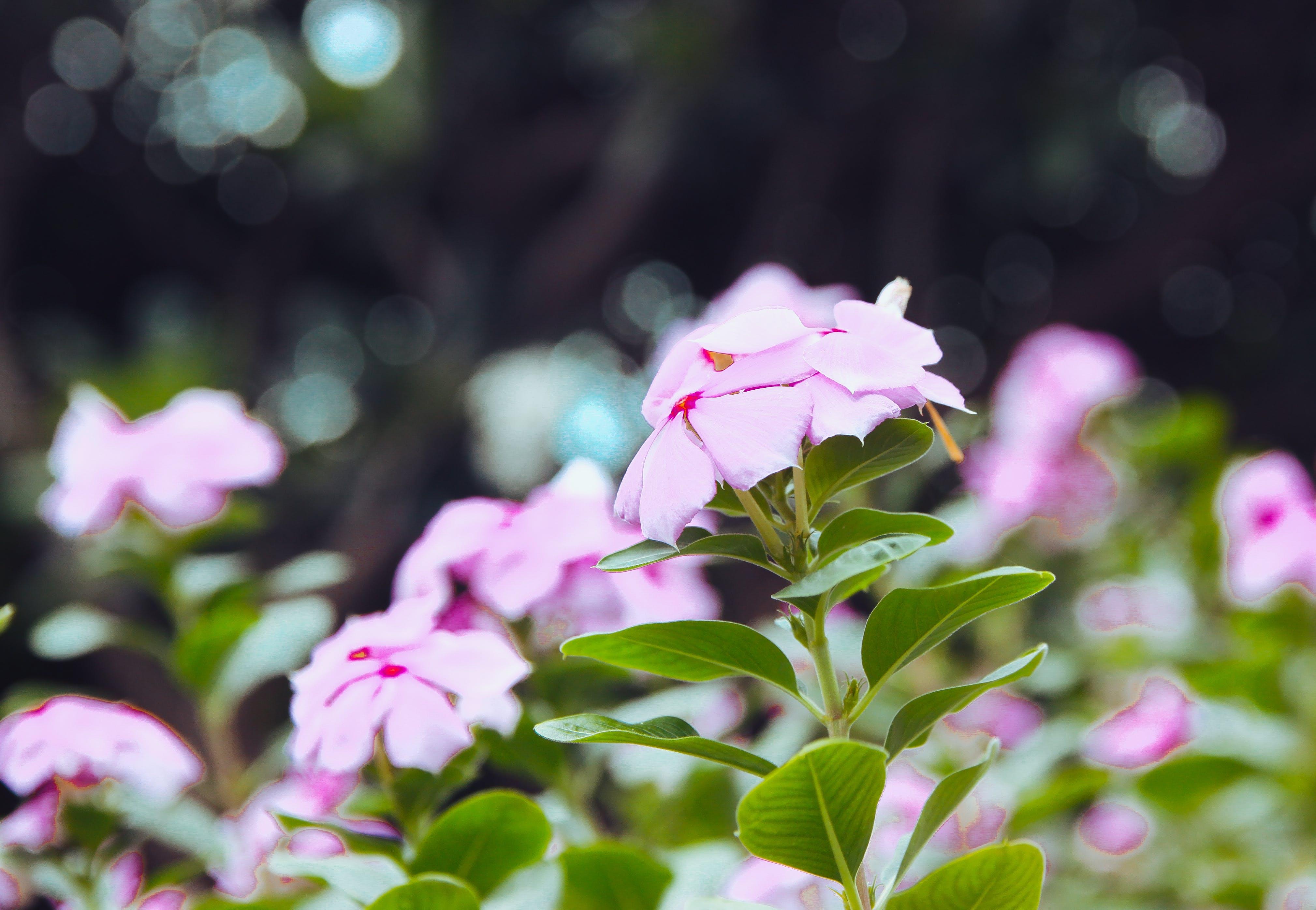 Gratis lagerfoto af blade, blomster, flora, have