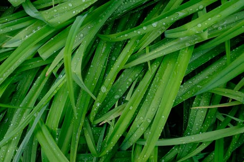 Dew Droplets on Grass