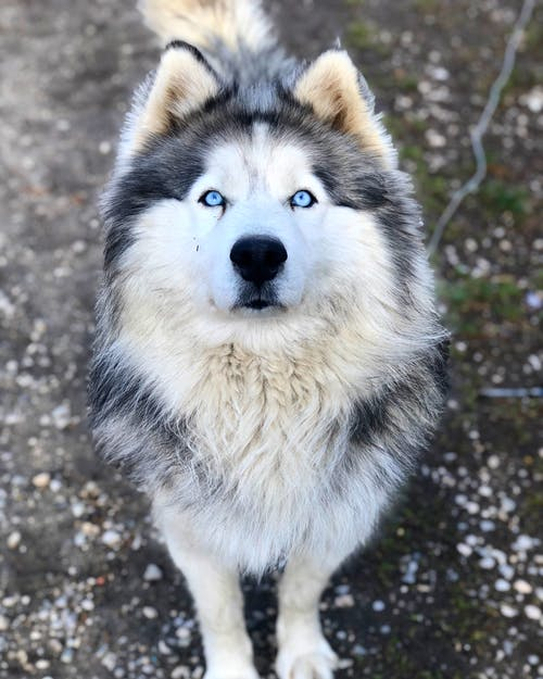 Free stock photo of alaskan malamute, animal, animal photography