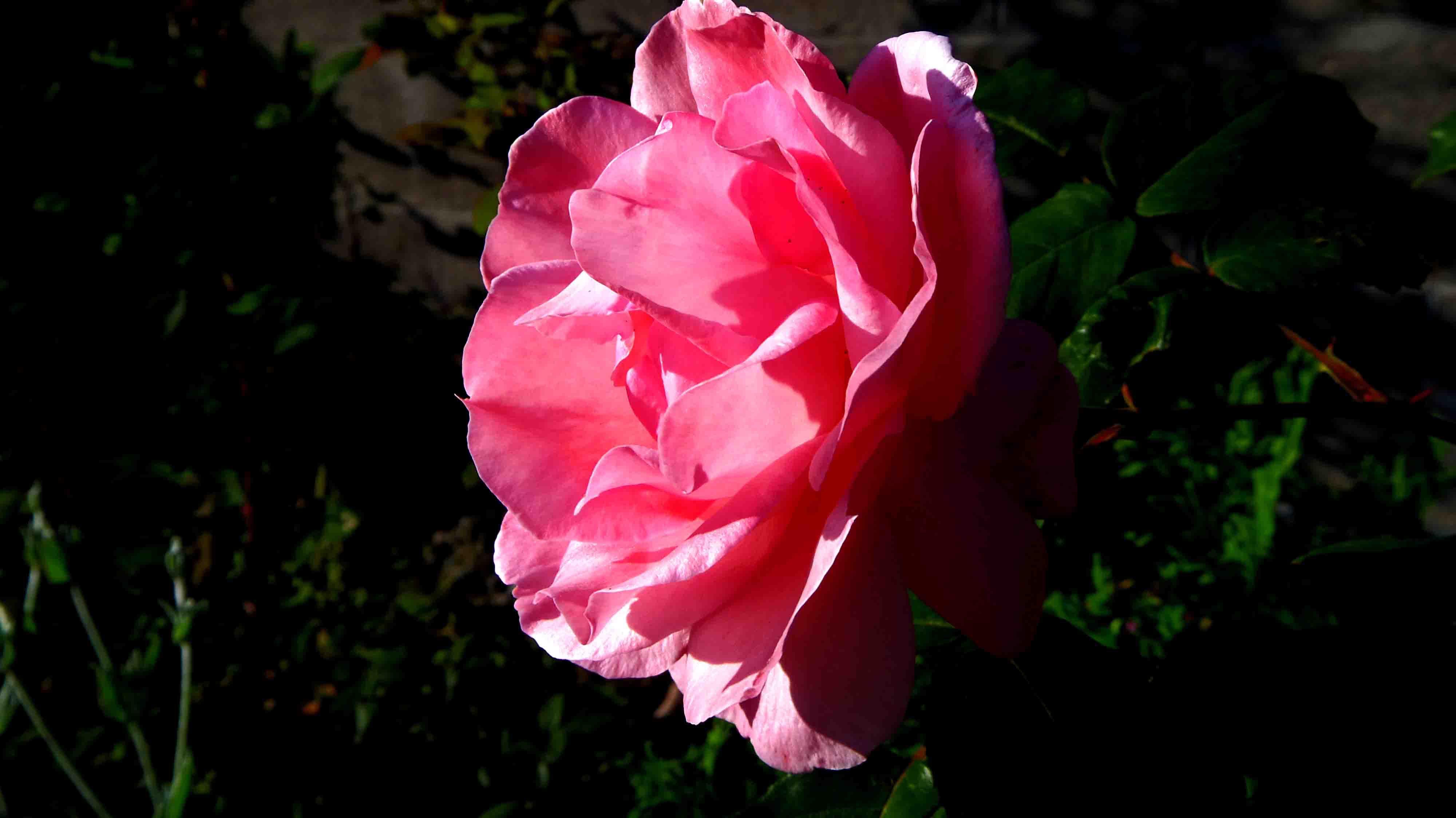 Foto profissional grátis de cor-de-rosa