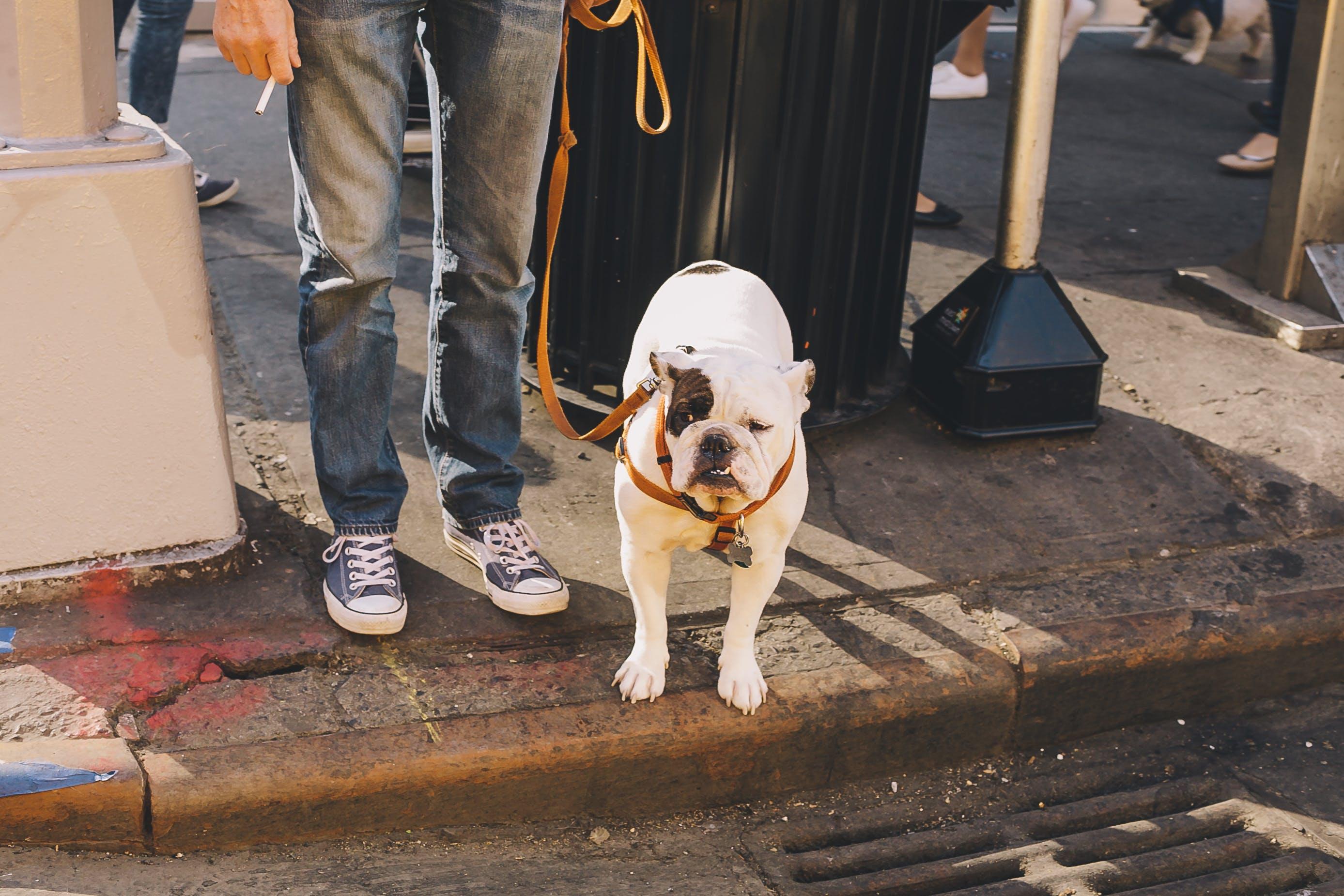 White and Black Molosser Dog on Leash