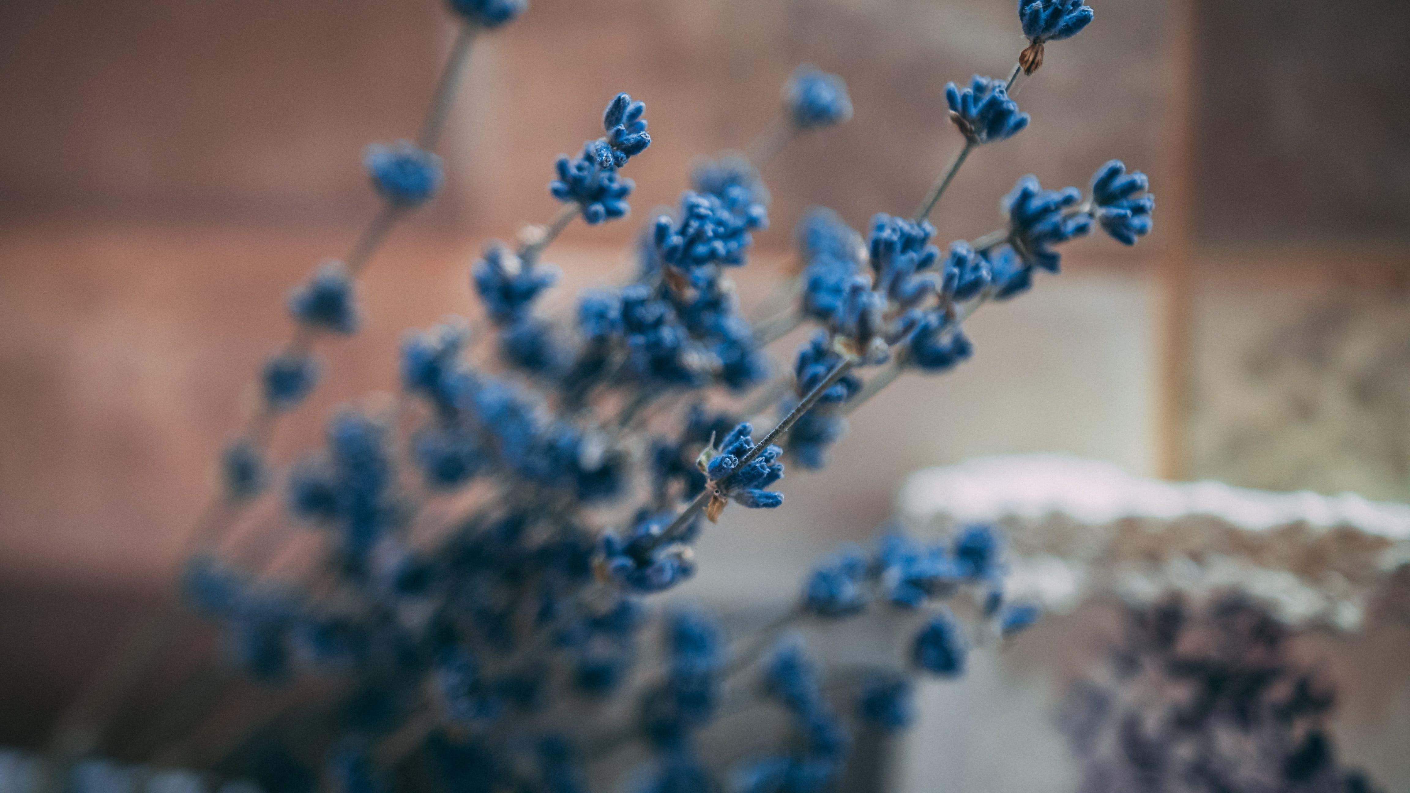 Photos gratuites de délicat, fleurir, fleurs, fleurs bleues
