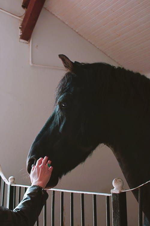 Gratis arkivbilde med dyrefotografering, fekting, hest, hingst