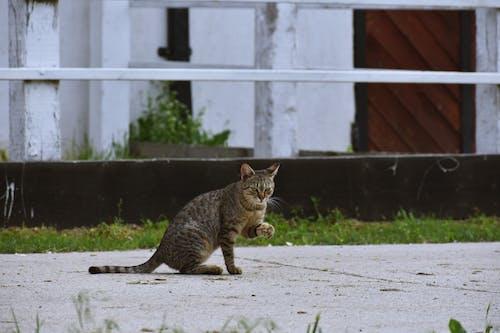 ぶち, ネコ, ペット, 動物の無料の写真素材