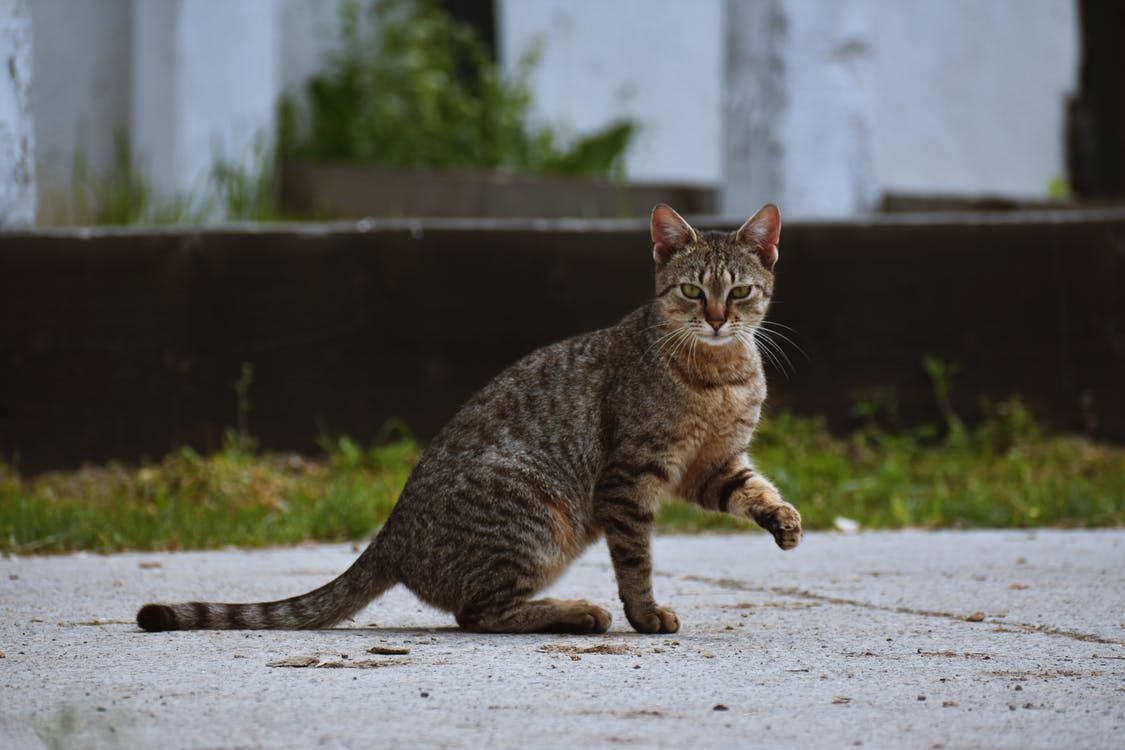 Brown Tabby Cat Sitting on Pavement