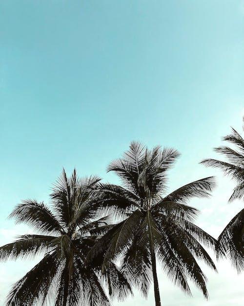 エキゾチック, トロピカル, パルム, ローアングルショットの無料の写真素材