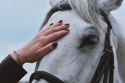 Fotobanka sbezplatnými fotkami na tému biely kôň, človek, domáce zviera, exteriéry