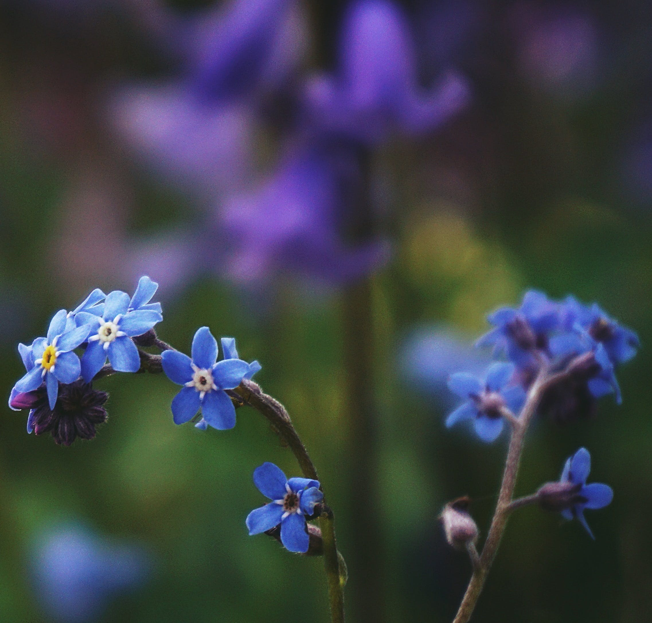 Gratis lagerfoto af blå, blå blomster, blomster, forglemmigej