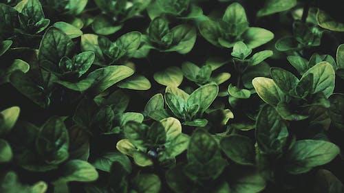 Foto d'estoc gratuïta de alfàbrega, botànic, color, creixement