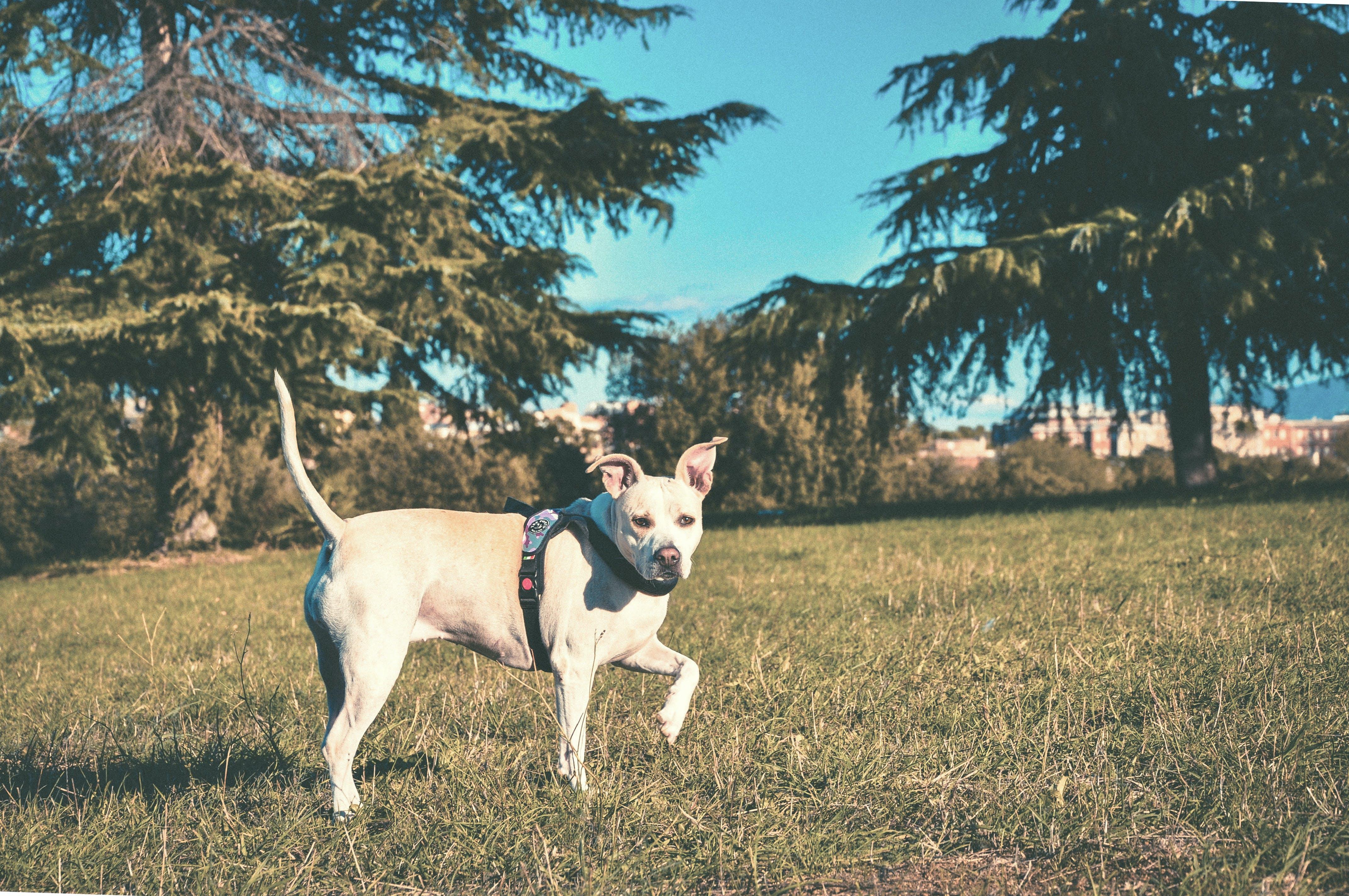 Ảnh lưu trữ miễn phí về cánh đồng, cây, chó, chó pitbull
