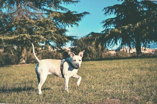 Δωρεάν στοκ φωτογραφιών με Pitbull, γήπεδο, γρασίδι, δέντρα