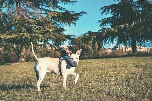 Walking White and Brown Dog