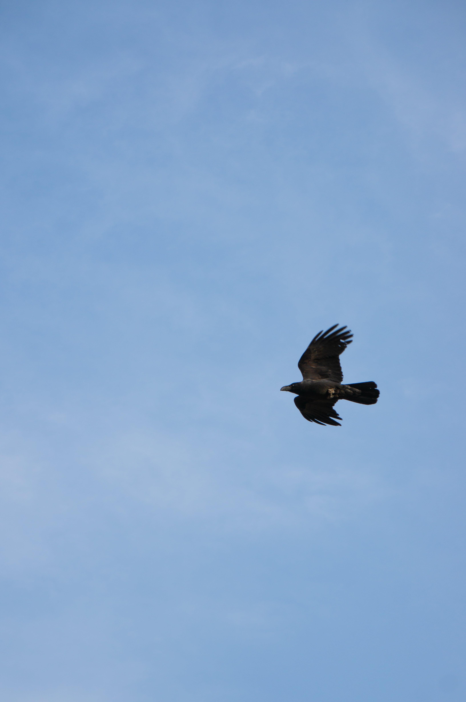 Free stock photo of animal, bird, blue, crow