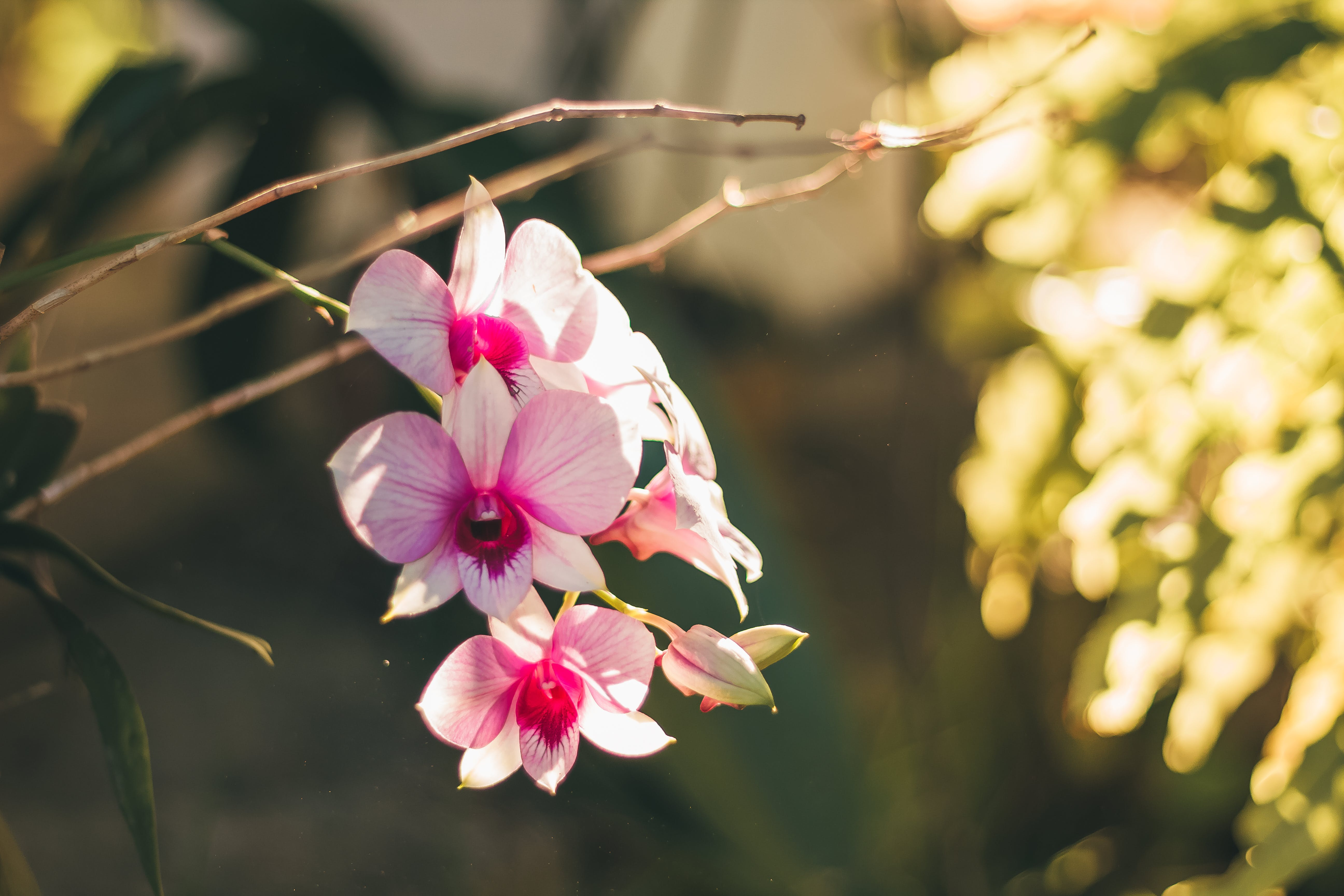Free stock photo of flower, pink, rose