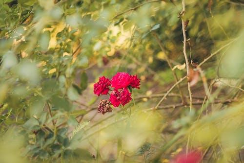 Základová fotografie zdarma na téma kytka, příroda, růže, zahrada